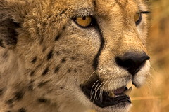 Cheetah. The portrait. (Maurizio Contini) Tags: africa portrait up animals lady speed close kenya african fast cheetah strategy maurizio himba contini inhabitants flickrbigcats