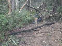 IMG_2723 Fallen trees on Merricumbene firetrail (drayy) Tags: park camping camp creek river drycreek track crossing offroad 4x4 country australia 4wd tent national nsw cave campsite steep moruya firetrail deua bendethera bushcamp deuanationalpark merricumbene dampiermountain