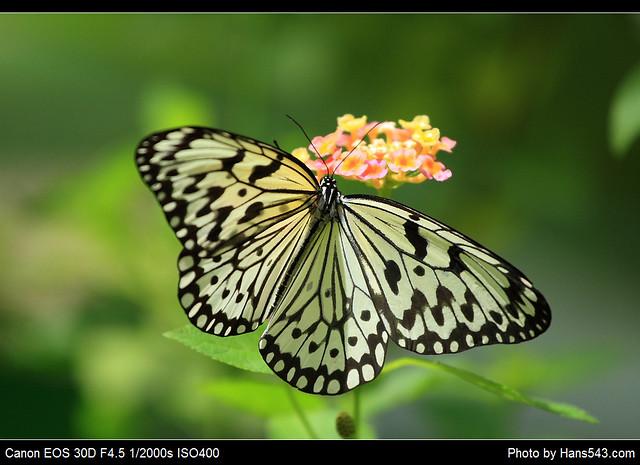 蝴蝶_Butterfly_09