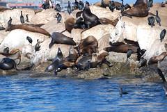 sealions on Monterey breakwater (ledges) Tags: williamscollege montereycalifornia californiafieldseminar williamsmysticfall2008