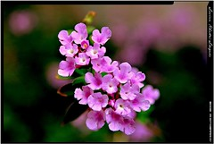 good judgement (love_llegado (on/off/busy/slowly catching up mode)) Tags: plant flower nature dof purple violet loveit creation 1001nights smallflower inspiredbylove canon400d awesomeblossoms lovellegado