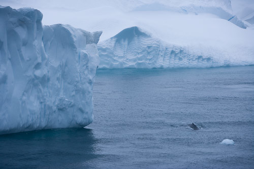 A whale surfaces near the mouth of Ilulissat Kangia