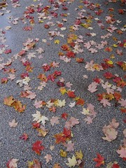 They Fell at My Feet (slipgrove) Tags: autumn wet leaves october path chicagobotanicgarden october20 slipgrove
