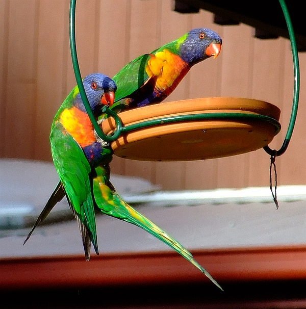 two rainbow lorikeets eating