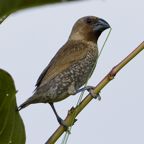Scaly-breasted Munia - Lonchura punctulata by Mike (nittynorns) in Thailand.