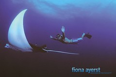 manta flight (Fiona Ayerst) Tags: sea ray underwater flight diving diver mimic manta mantaray largefish orcadivers