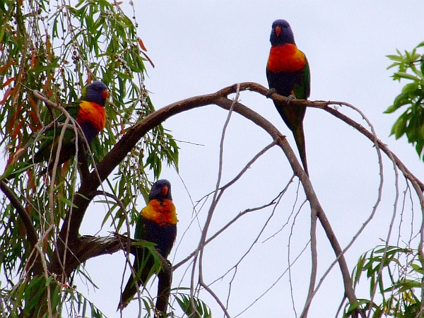 stuck up lorikeets