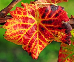 Redwine (Habub3) Tags: park autumn macro fall nature leaves germany garden deutschland photo vineyard nikon europa europe stuttgart bokeh herbst natur autumncolors makro blatt garten weinberg d300 weinblatt leav vineleaf herbstfarben viewonblack aplusphoto flickr2009 habub3