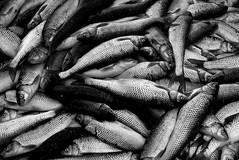 Holocaust ?! (e 11 e v e n) Tags: bw fish holocaust selfish elleven       86