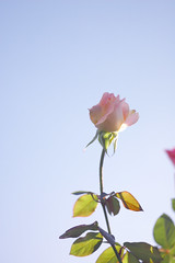 Pink Rose against Blue (yoshiko314) Tags: pink blue autumn sky sunshine rose lights d70 bright elegant 55mmf28aismicro flowercolors