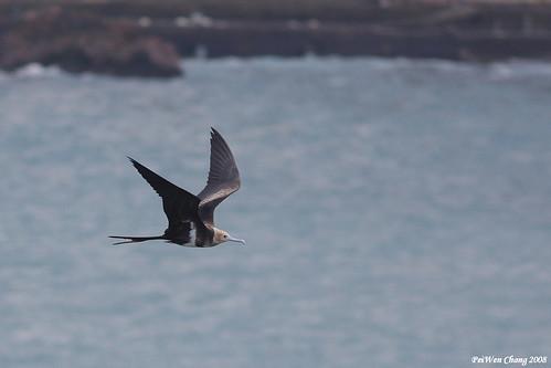 白斑軍艦鳥 Lesser Frigatebird