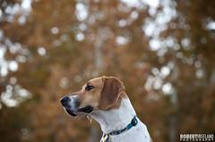 Zamboni (Murphy Dog Studios) Tags: dog pet fall beagle photography autum canine professional mds harrier murphydogstudios
