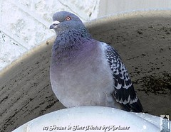 P2100563 WHY DO YOU WANT TO TAKE MY PHOTO???? (Frozen in Time photos by Marianne AWAY OFF/ON) Tags: friends bird nature birds pigeon wildlife pigeons columbalivia blueribbonwinner rockpigeons nationalgeographicwannabes amazingpigeons birdpix3day thewonderfulworldofbirds pointpleasantinlet nationalgeographiswannabes