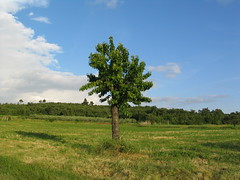 Flengi - Istria - Croatia (Been Around) Tags: tree europe croatia baum cro lonelytree adria istria hrvatska istra kroatien limski republikahrvatska istrien flengi istarska limbay