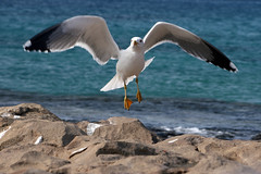 Seagull (Katka S.) Tags: sea espaa white bird nature animal island islands fly spain sand rocks erasmus seagull gull flight lanzarote canarias atlantic unesco canary 2008 volcanic islas reservation llp fotocompetition fotocompetitionbronze fotocompetitionsilver