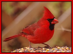 One So Red (MEaves) Tags: red color bird nature closeup scarlet illinois searchthebest cardinal pentax vivid feeder avian birdwatcher blueribbonwinner supershot seedeater golddragon mywinners k10d pentaxk10d platinumphoto anawesomeshot impressedbeauty ultimateshot avianexcellence cmwdred betterthangood goldstaraward qualitypixels cmwdweeklywinner