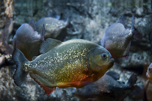 How Much Does It Cost To Buy A Piranha | Cost and Price Estimates |