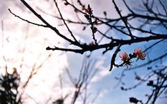 (MoorPfeffer) Tags: mountain cherry blossoms taiwan formosa  frhling alishan        taiwn