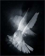 A portrait of a Flying Dove in black-and-white - Flying-Dove-03 (Bahman Farzad) Tags: portrait blackandwhite white black blackbackground flying blackwhite image dove multiple whitedove vob flyingdove dovestrobe flyingdoveproject
