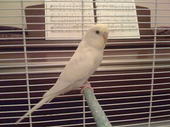Nibbler (abayliss) Tags: bird budgerigar budgie nibbler
