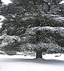 Big fir (hopeisalot) Tags: winter snow december wintersolstice wa bothell winterinwashington snowinbothell waynegolfcourse bigfirtree winterinthepacificnorthwest snowinthepacificnorthwest snowinwashinton