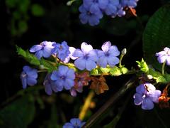 Flowers (Rajiv Lingayat) Tags: konkan