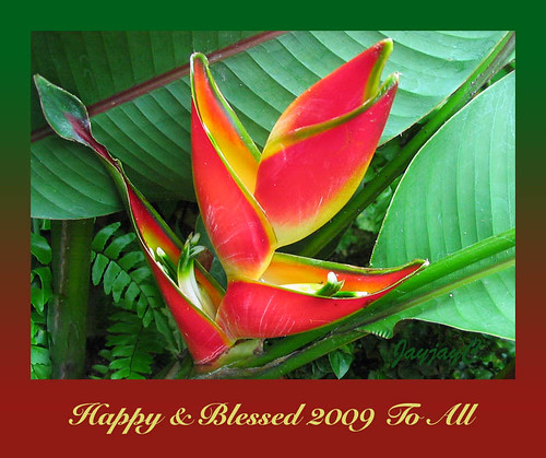 New Year 2009 greeting card with Heliconia stricta 'Carli's Sharonii'