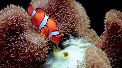 marlin (poopoorama) Tags: seattle fish aquarium washington nikon sigma clownfish anemone d300 1850mmf28exmacrohsm