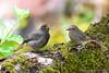 Black Redstart (Phoenicurus ochruros) (Jeluba) Tags: bird nature canon wildlife aves ornithology birdwatching oiseau phoenicurusochruros blackredstart hausrotschwanz rougequeuenoir alittlebeauty