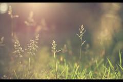 little things.. (untiefen) Tags: sunset sun sunlight plant green beautiful grass canon 50mm warm sonnenuntergang bokeh sommer pflanze smooth meadow wiese lensflare gras grün blatt blüte sonne sunbathing 50mmf14 gegenlicht steglitz warmtones citynature 50d 055prob canoneos50d blumenundpflanzen untiefen