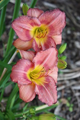 Double Lilly