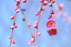 /  Beaded Curtain (*Sakura*) Tags: pink flower japan blossom plum bluesky explore sakura bud ume  earlyspring      macro