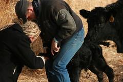 tagging a calf