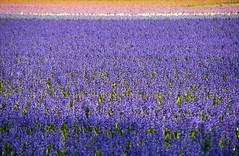The colour purple (Johan_Leiden) Tags: colour landscape colours purple thenetherlands fields bulbs flowerfields lots bollen hyacinth hyacinths voorhout bollenvelden flickrsbest mywinners amazingamateur naturewatcher bulbseason startcounting bollenseizoen
