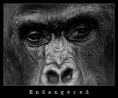 Endangered (piggy2007b) Tags: bw animal zoo monkey gorilla frame ape antwerp congo endangered antwerpen aap anvers kongo belgien apen kader zoologie mensaap dierentuinen bedreigdediersoort