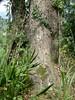 96.11.16竹崎鄉光華村茄苳風景區內的茄苳老樹DSCN3212