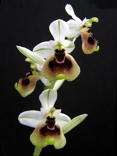 Ophrys ficalhoana ( = O.tendhredinifera subsp. ficalhoana ) 2506694668_0e5c8d6d93