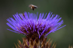 Thistle Thursday1