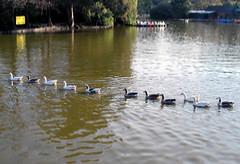 On the line (Romi) Tags: argentina buenosaires nikon ducks natura ba palermo rosedal patos d60 310508