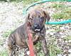 Maggie Mae (muslovedogs) Tags: dogs puppy mastweiler