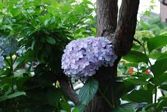 Hydrangea No.2@my house garden