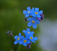 Forget me not (randihausken) Tags: blue forgetmenot bl myosotis naturesfinest forglemmegei diamondclassphotographer flickrdiamond theunforgettablepictures colourartaward