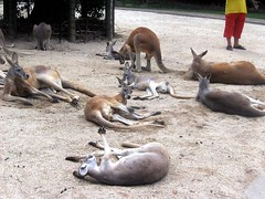 9 Kangaroos - Wildlife Sanctuary Currumbin Gol...