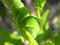 "Green caterpillar (""KIUKO"") Tags: green caterpillar lemontree"
