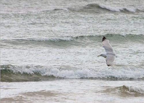 Gull over the sea