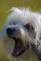 Phoebe (Natalia Romay Photography) Tags: dog pet white cute animal mouth nose interesting funny teeth canine can perro blanca phoebe animales maltese mascota interesante nariz maltes bichonmaltes maltesemaniaccom cutemaltese