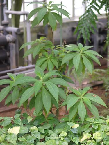 Rhytidophyllum tormentosum