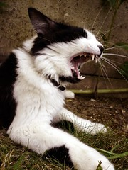 Vampire teeth (fatseth) Tags: wild cute nature grass animal cat fur dangerous funny chat vampire teeth lawn gato scream cris poil drome morel dents herbe mignon sauvage canines gazon dangereux fatseth genseric incisives