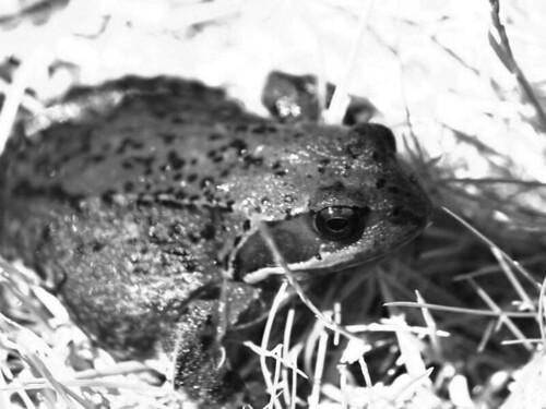 Frog bw