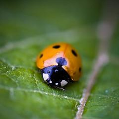 my first ladybird (mouzhik) Tags: macro canon insect beetle ladybird ladybug insekt insecte kfer coccinelle marienkfer zemzem muzhik mujik  efs60mmmacro  moujik eos40d mouzhik